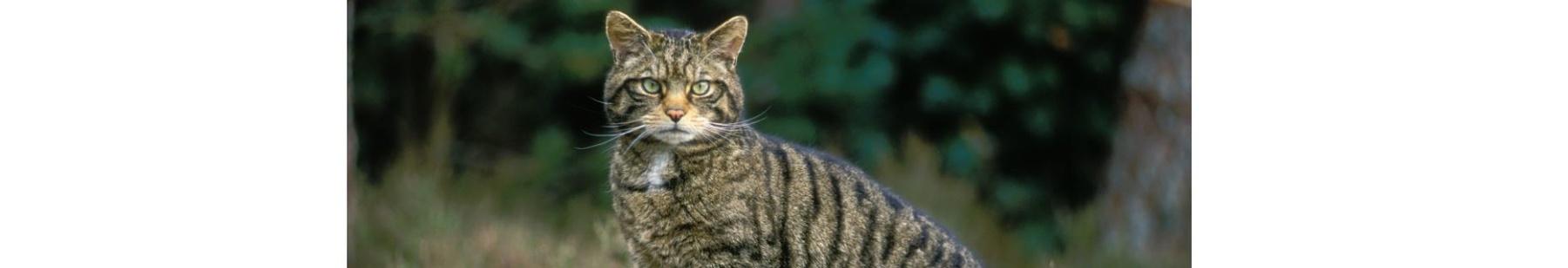 Scottish wildcatCapture