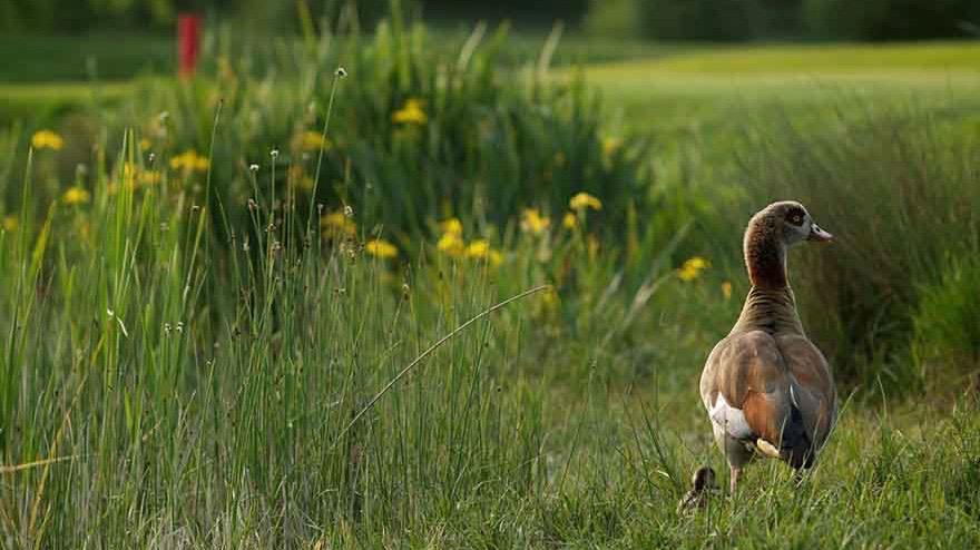 golf course wildlife (1)